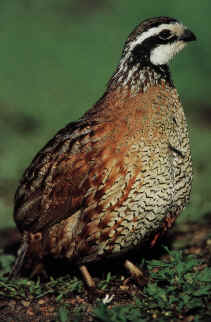 Bobwhite Quail Cock